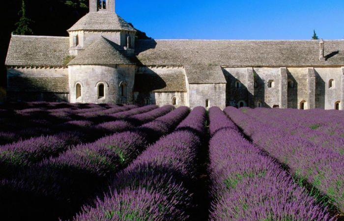 Французская лаванда фото