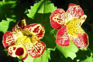 Цветок мимулюс фото