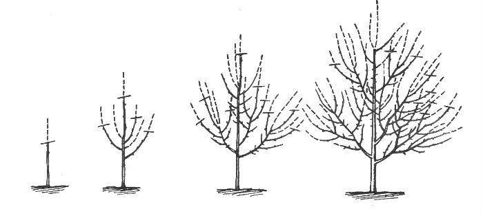 Формирования кроны яблони фото