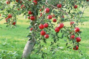 Яблоня с яблоками фото