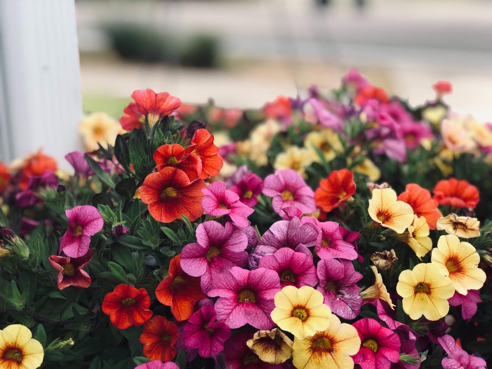 Как добиться красивого цветения петунии