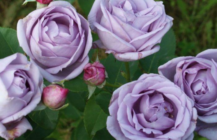 Роза Индиголетта фото