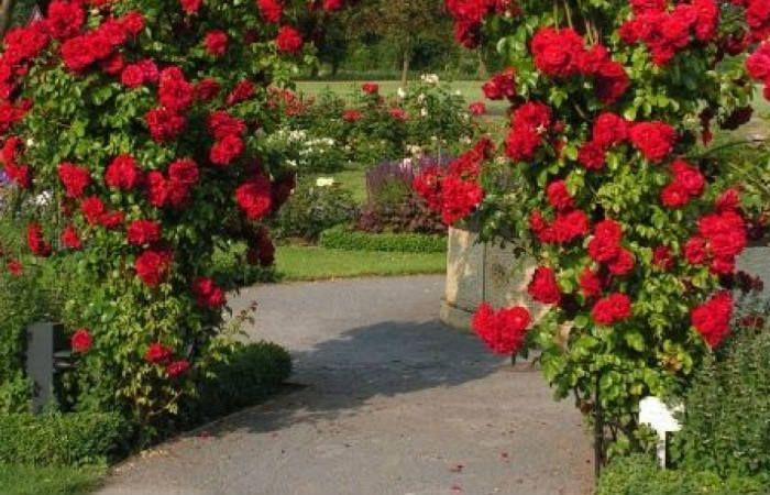 Роза Симпатия фото