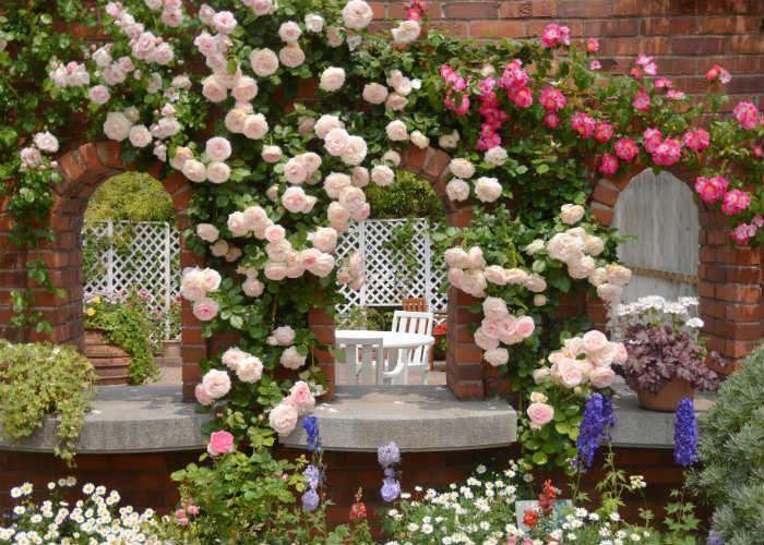 Розы плетистые фото