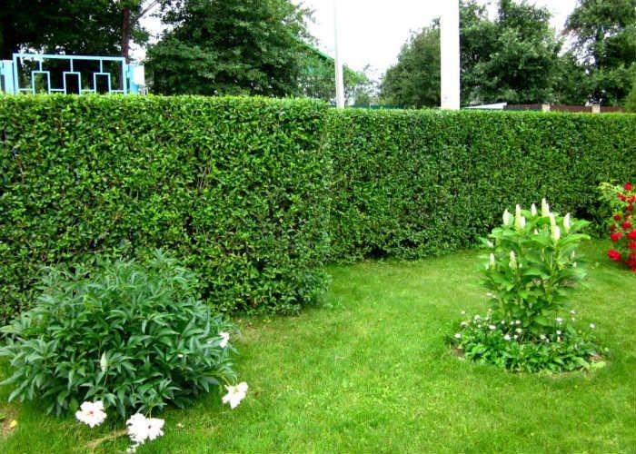 Зеленая средняя изгородь фото