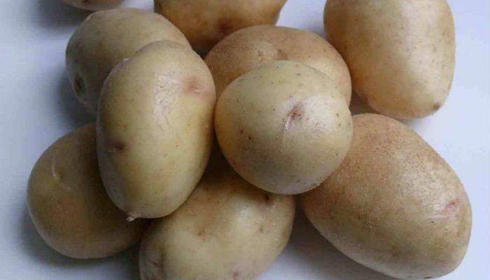Картофель Маэстро фото
