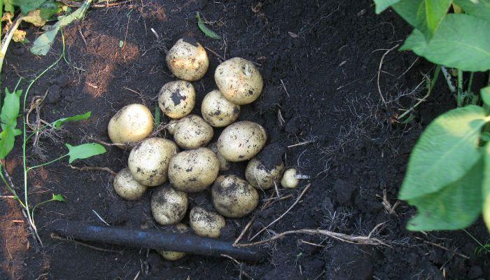 Картофель Санте фото