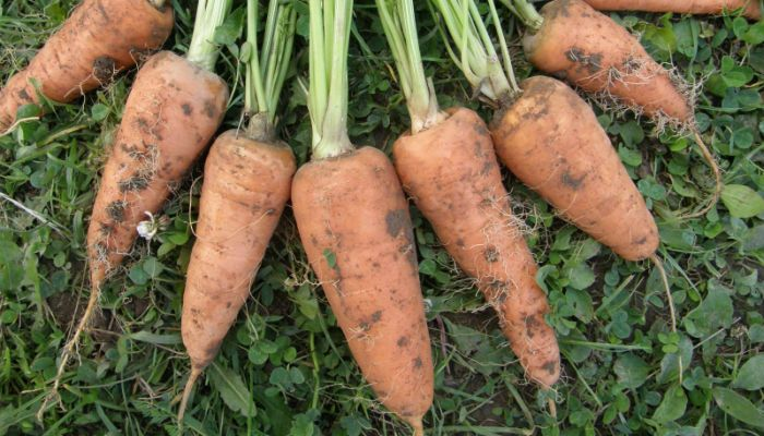 Морковь Каротель парижская фото