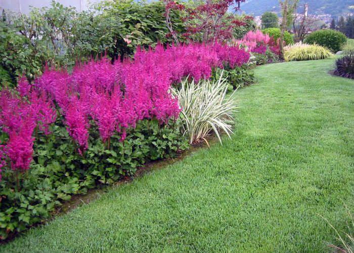 Ярко-розовая астилба фото
