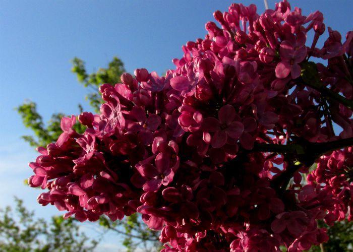 Сирень Персидская (красная) фото