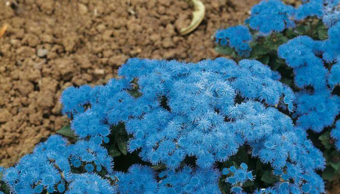 Голубая норка фото