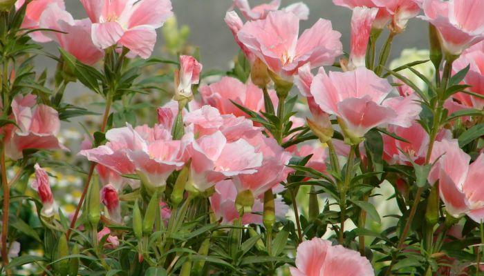 Азалиецветковая фото