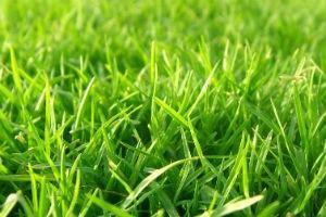 газонная трава, уничтожающая сорняк фото