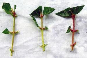 Как размножить черенками жимолость фото