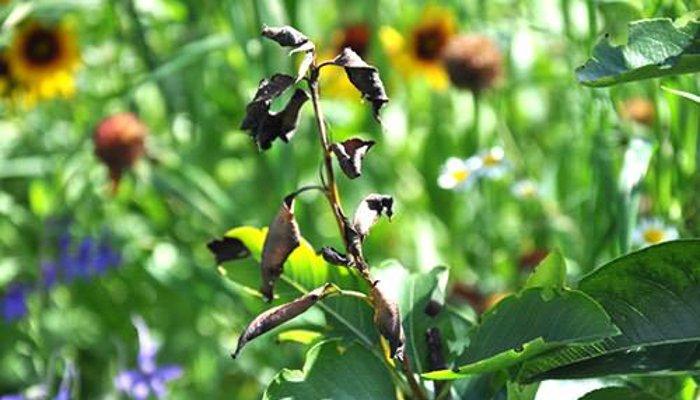 Почернение листьев жимолость фото