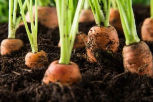 Подкормка моркови после всходов фото