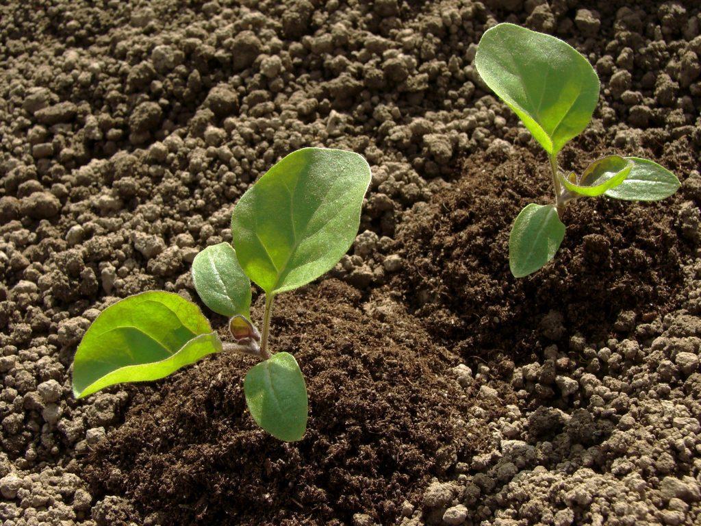 Пересадка рассады в открытую почву