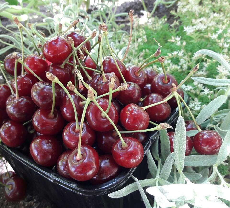 Особенности сорта вишни Морозовка