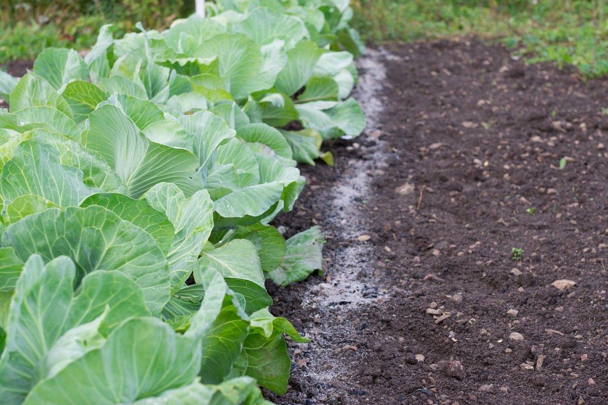 Чем подкормить рассаду капусты для хорошего роста