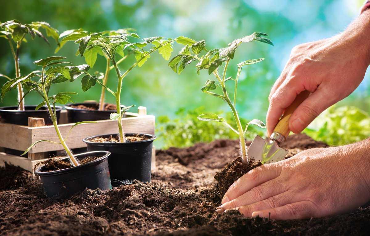Почему у рассады томатов скручиваются листья