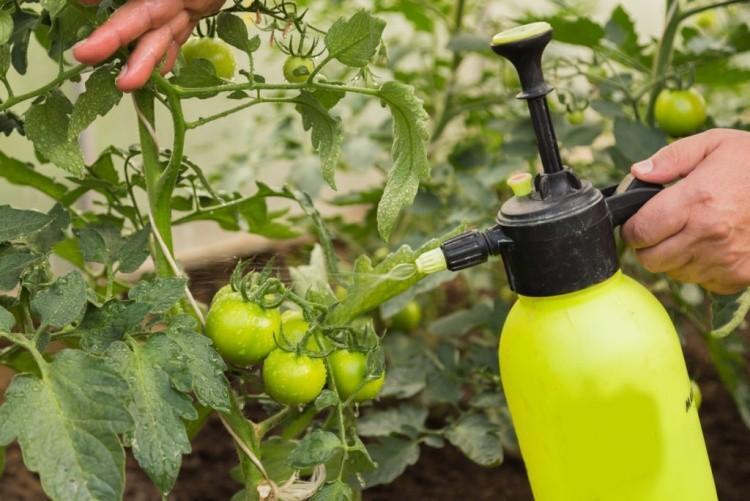Как и зачем опрыскивать томаты борной кислотой