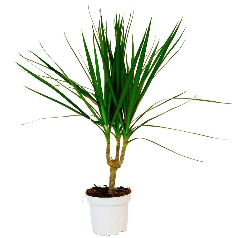 Драцена (комнатная пальма)