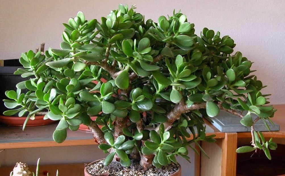 Толстянка (красула, денежное дерево)