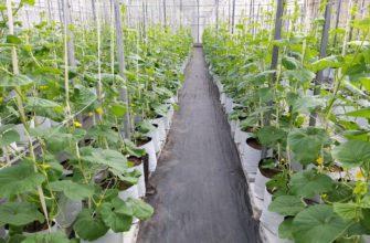Сколько времени растут огурцы в теплице