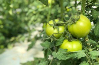 При какой температуре замерзают помидоры в теплице