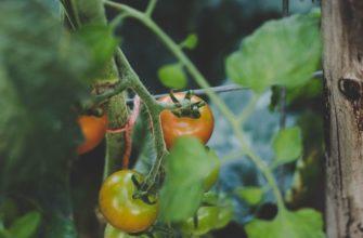 Какую температуру выдерживают помидоры в теплице