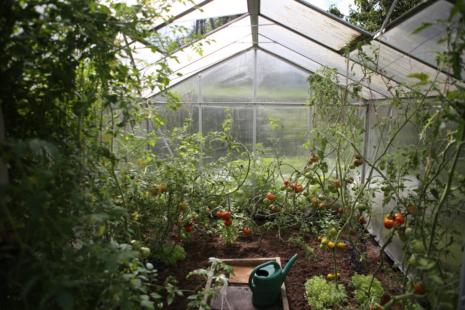 При какой температуре открывать теплицу с помидорами
