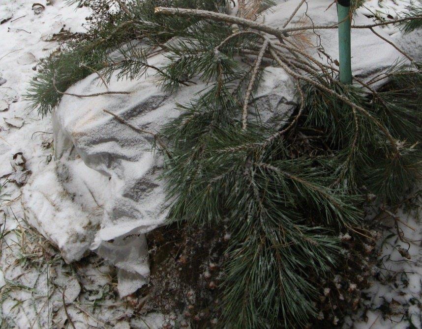 Подготовка кустов к зимовке