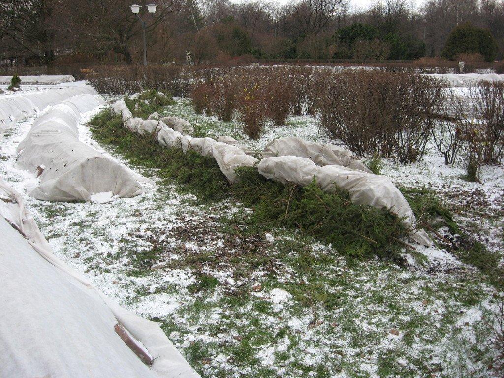 Подготовка ежевичных кустов к зимовке